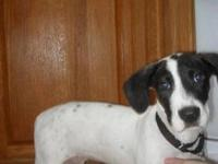 Feist - Pointer Mops - Medium - Young - Male - Dog