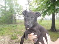 Feist - Blackjack - Medium - Young - Male - Dog