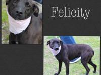 Felicity is a young adult female Cur mix ( meaning a
