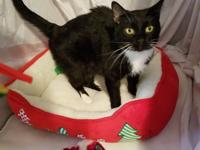 Felix is a shy, vocal, and loving 2 year old Tuxedo