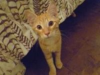 Felix's story Description: Beautiful tabby markings and