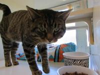 Felix is about 3 years old, male, brown tabby.  Can be