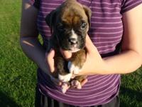 Brindle female. This puppys mother is fawn(65lb) and