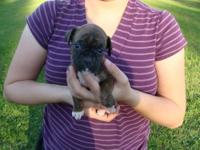 Brindle female with white feet. This puppys mother is