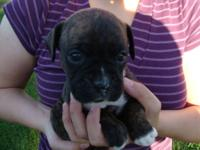 **RESERVED**Brindle female with white stripe on neck.
