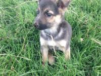 Lovable female purebred German Shepherd young puppy, 8