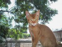 5 month old Abyssinian Kitten, 1st shot, litterbox