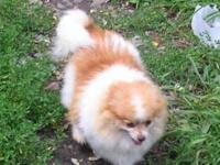 I have a female Pomeranian approximately 4 years old to