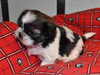 I have a female shihtzu for sale. Her name is Haven.