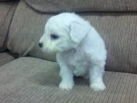 Beautiful White Bichon. All our puppies come with a one