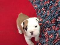 Female AKC Champion English BullDog available April