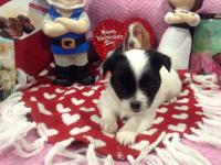 We have two very beautiful female AKC Chihuahua puppies