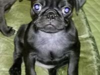 AKC BLACK FEMALE PUG PUPPY (HAHIRA, GA) Darling, pure