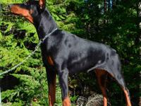 This is Dixie. She is the perfect Doberman, sweet,