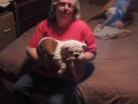 Female AKC English Bulldog puppy for sale. She is a