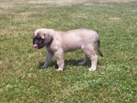 She is a beautiful, sweet fawn English Mastiff, born