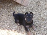 We have one beautiful female AKC German Shepherd pup