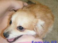 I have 3 adorable female Pomeranian puppies for sale.