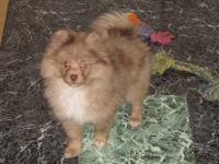 AKC female Pomeranian. We think she is a Brown Merle in