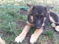 She is an AKC Registered German Shepherd. She is the