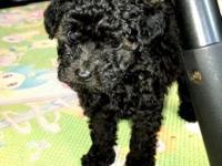 We have a FEMALE AKC Toy Poodle Puppy born March 23,