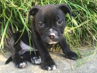 I have a beautiful black w/ white markings female Ukc