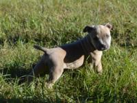We have1 Female American Bully puppies! Puppy is ABKC