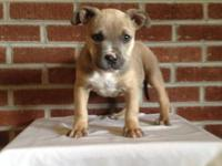 We have one Female American Bully Puppy available. She