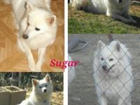 American Eskimo Spitz Females Available- Sugar; born: