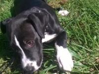 Female puppy for sale. $200.00 Location is Rochester. ,