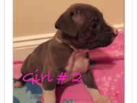 Stunning bully American Staffordshire Terrier young