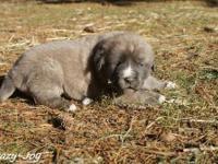 RARE!! Blue fawn colored Anatolian Shepherd Dog, she