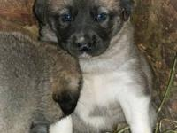 RARE BLUE fawn!!!! This girl is our pick of the litter.