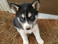 gorgeous Husky puppies with ckc papers and up to date