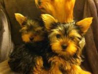 Pure Breed Yorkies Females and Male at $700. The