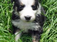 We have a litter of Australian Shepherd puppies born