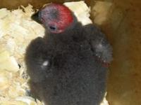 Beautiful baby female eclectus. 5 weeks old on 3