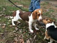 5 month old purebred female beagle. Liver/white color.