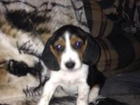 I have (5) 7-week old female beagle young puppies for