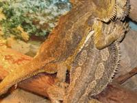 C/B grownup female Bearded Dragon for sale. This is a