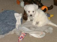 Powder is a picture perfect Bichon female. She is 8