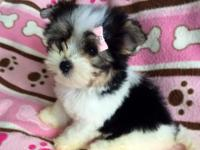 This tiny beautiful biewer Yorkie is ready to find a