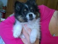 I have a female pomeranian young puppy for sale. She is