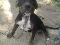 I have a Beautiful Female Black Tri Brindle Bully Pup