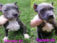 Gorgeous Blue American Bully Females Ready for their