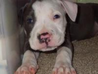 Born March 1st The Stunning BFemale Ble Bully was 8