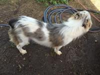 Sweet female blue Merle Australian sheppard. Will be a