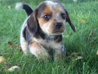 This female beagle is 9 weeks old can be signed up with