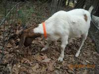 Small female boar goat for sale. 1 1/2 years old- she