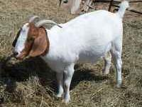9 month old female Boer Goat. She may be bred. Very